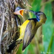 Olive-backed Sunbird, Female (Cinnyris jugularis) on nest feeding young chick at Singapore's Chinese Garden