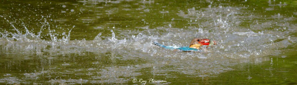 Stork-Billed Kingfisher (Pelargopsis capensis malaccensis) shallow dive to stab a fish in Singapore's Japanese Garden