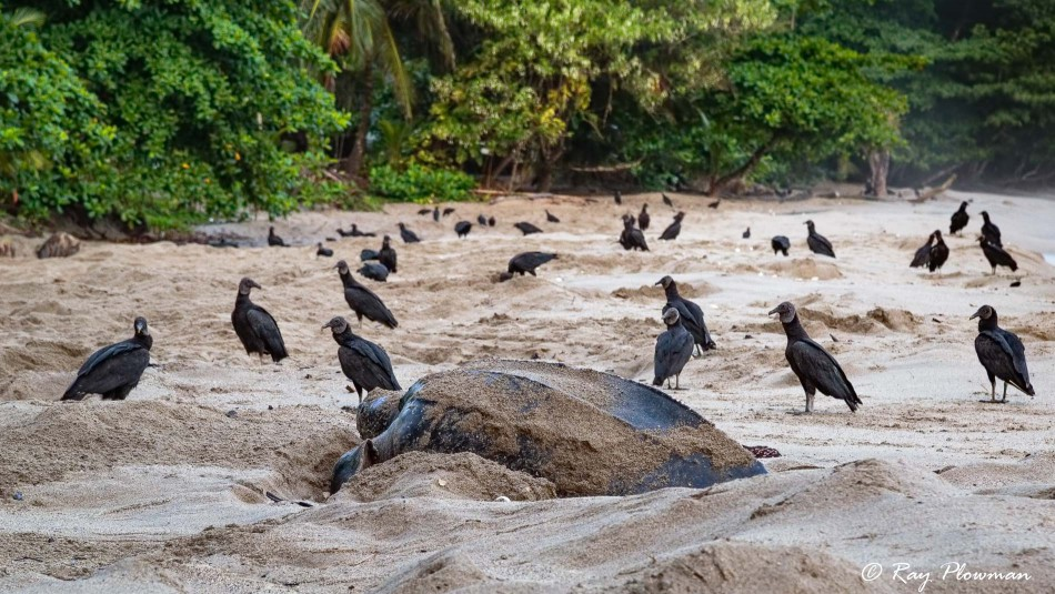American Black Vulture (Coragyps atratus brasiliensis) waiting for leatherback turtle to finish nesting at Grande Riviere in Trinidad