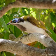 Blue-faced Honeyeater (Entomyzon cyanotis) at Marian in the Mackay Region of Queensland