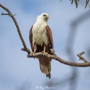 Brahminy Kite (Haliastur indus girrenera) perched at Cape Gloucester in Queensland