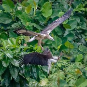Immature White-bellied Sea-eagle about to strike Adult Grey-headed Fish-eagle at Dairy Farm Nature Parks Singapore Quarry