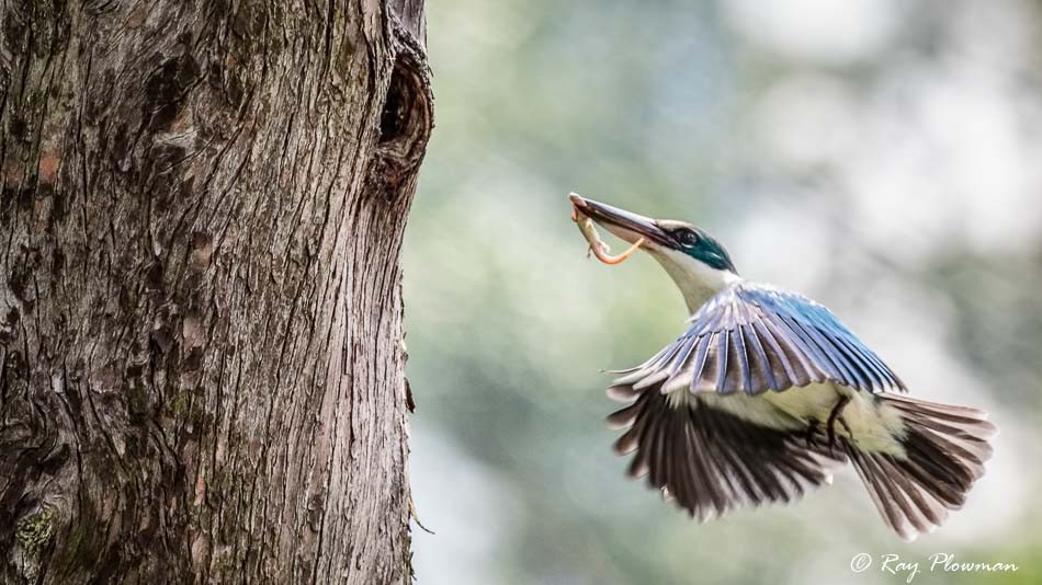 Collared Kingfisher (Todiramphus chloris humii) flying to nest with a lizard at Singapore's Chinese Garden