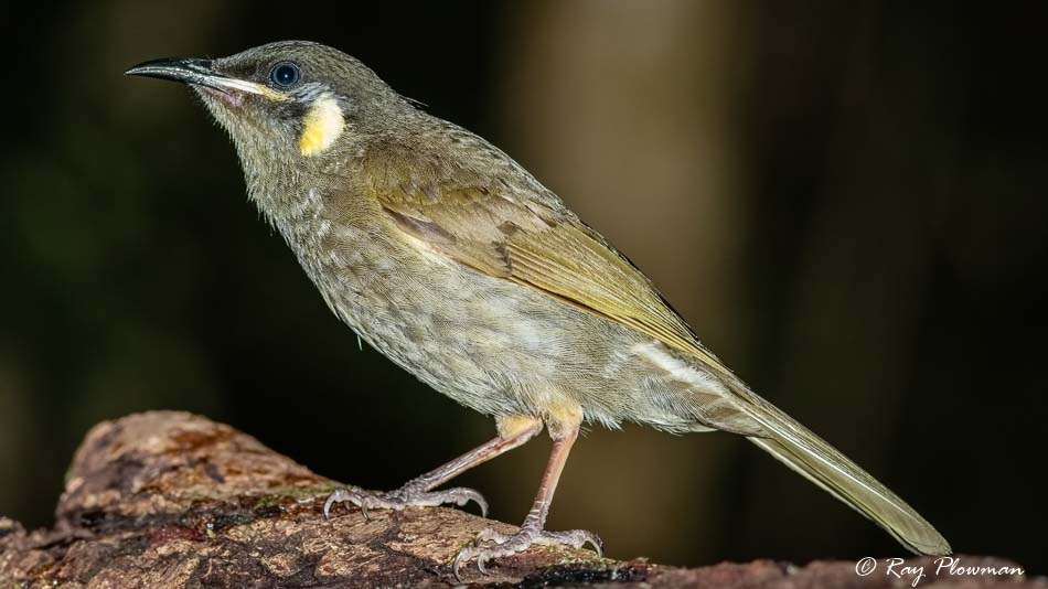 Lewin's Honeyeater (Meliphaga lewinii mab) at Crater Lakes National Park in Queensland