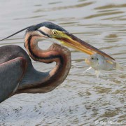 Purple Heron (Ardea purpurea manilensis) closeup with stabbed fish at Japanese Garden in Singapore