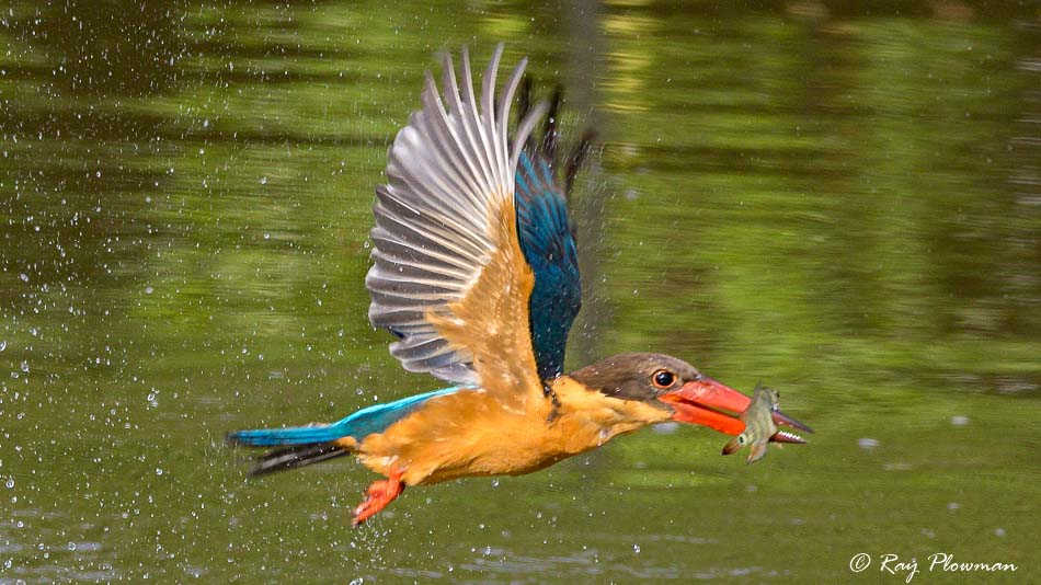Stork-Billed Kingfisher (Pelargopsis capensis malaccensis) with fish flying to devour it, Japanese Garden's small lake, Singapore