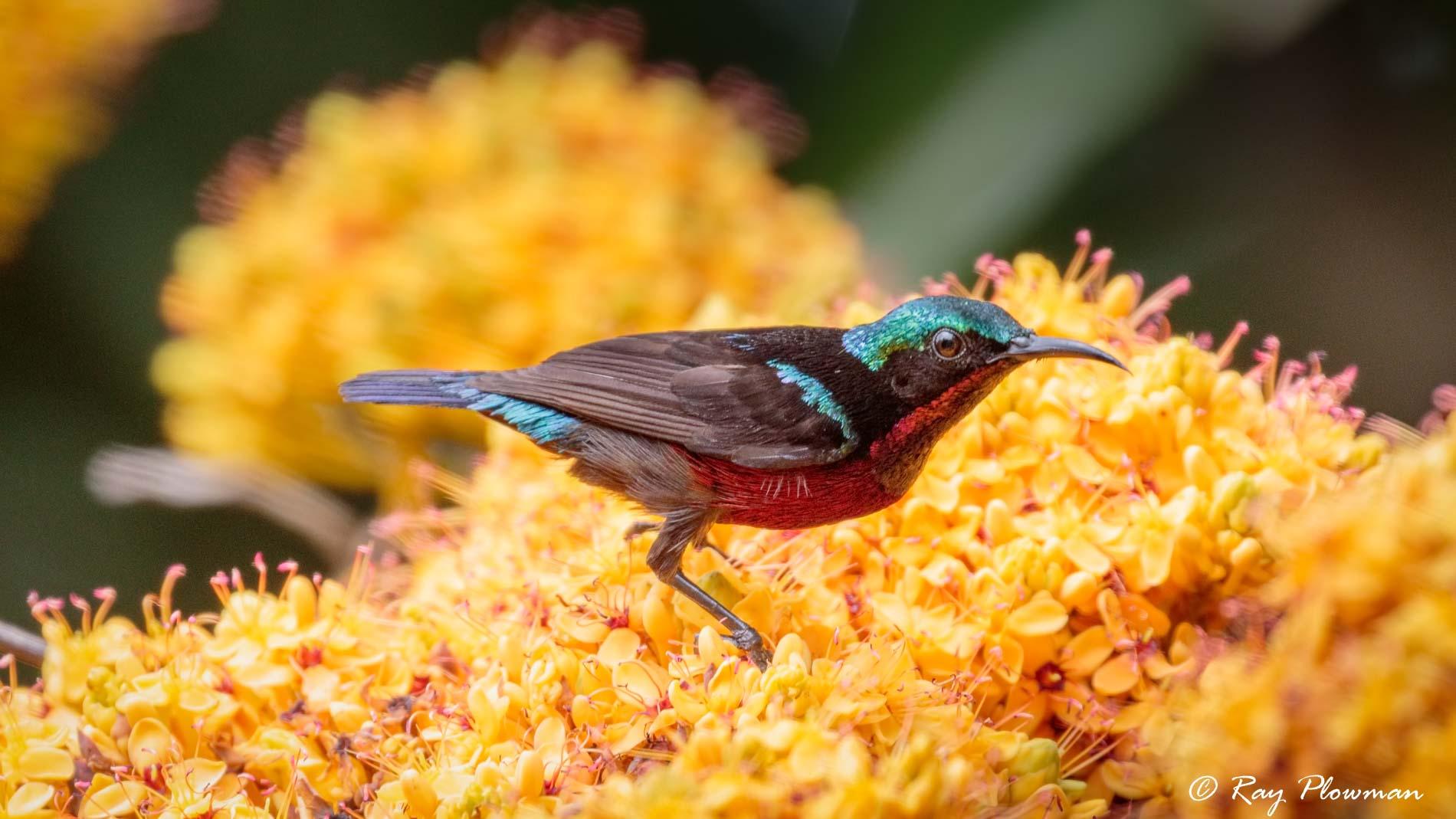 Van Hasselt's (Maroon-bellied) Sunbird (Leptocoma brasiliana), Male at Bukit Batok Nature Park in Singapore