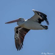 Australian Pelican (Pelecanus conspicillatus) flying at Lakes Entrance in Gippsland, Victoria
