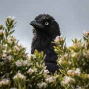 Forest Raven (Corvus tasmanicus) near Loch Ard Gorge on Great Ocean Road in Victoria