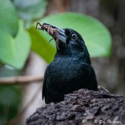 Black Butcherbird (Melloria quoyi rufescens) feeding on spiders at Mission Beach in Queensland's wet tropics