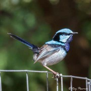 Superb Fairy-wren (Malurus cyaneus) Male perched at Tower Hill Reserve in Victoria