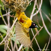 Golden-backed Weaver (Ploceus jacksoni) Male flying from nest at Lorong Halus Wetland in Singapore