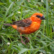 Red Fody (Foudia madagascariensis) Male on ground in the Seychelles