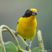 Violaceous Euphonia (Euphonia violacea rodwayi) Male perched at Asa Wright Nature Centre in Trinidad