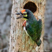 Coppersmith Barbet (Psilopogon haemacephalus indicus) at tree nest hole at Chinees Garden in Singapore