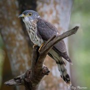 Malay Hawk-cuckoo (Hierococcyx fugax) perched at Bidadari Cemetery Woodland in Singapore