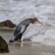 Yellow-eyed Penguin (Megadyptes antipodes) on the beach at Sandfly Bay, Otago Peninsula in New Zealand