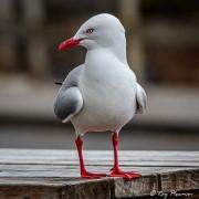 Red-billed Gull Red-billed Gull (Chroicocephalus novaehollandiae scopulinus) at Stewart Island in New Zealand