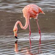 American Flamingo (Phoenicopterus ruber) at Punta Cormorant on Floreana