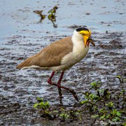 Masked Lapwing (Vanellus miles) at Mamukala Wetlands in Kakadu National Park