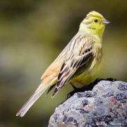 Yellowhammer (Emberiza citronella) near the Hooker Valley Track in Aoraki Mount Cook National Park