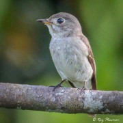 Asian Brown Flycatcher (Muscicapa dauurica) perched at Central Catchment Reserve in Singapore