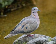 Eared Dove (Zenaida auriculata) ssp hypoleuca) perched on a rock in Quito's Botanical Garden