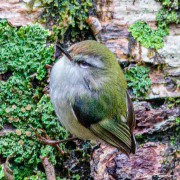 Rifleman (Acanthisitta chloris) male at Governors Bush track in Aoraki Mount Cook National Park