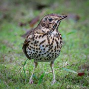 Song Thrush (Turdus philomelos clarkei) on ground at Yateley in Hampshire