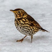 Song Thrush (Turdus philomelos clarkei) in the snow at Yateley, Hants, England