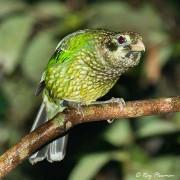 Spotted Catbird (Ailuroedus maculosus) in the rainforest near Lake Eacham, Atherton Tablelands
