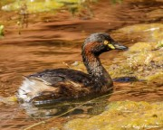 Australasian Grebe (Tachybaptus novaehollandiae) swimming in a waterhole at Ormiston Gorge in West MacDonnell National Park