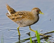 Australian Crake (Porzana fluminea) in the water at Laratinga Wetlands near Adelaide
