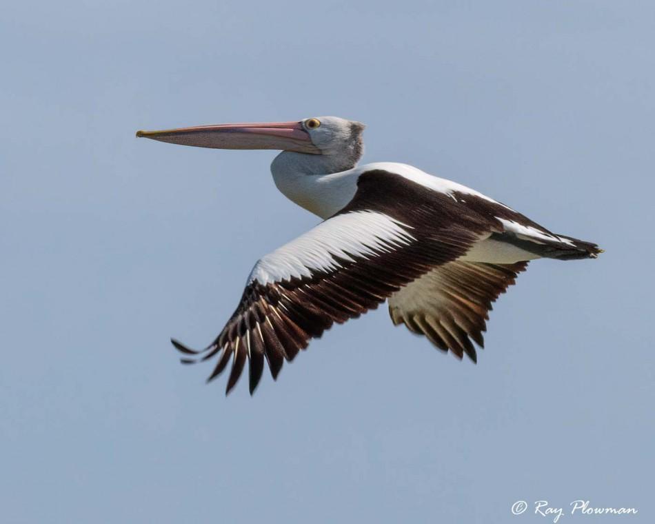Australian Pelican (Pelecanus conspicillatus) flying at Lake Albert / Yarli in Meninge, South Australia