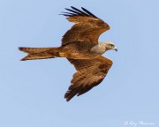 Black Kite (Milvus migrans affinis) gliding at Alice Springs in Australia's Red Centre