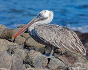 Brown Pelican (Pelecanus occidentalis urinator) non-breeding adult at Rabida Island in the Galapagos