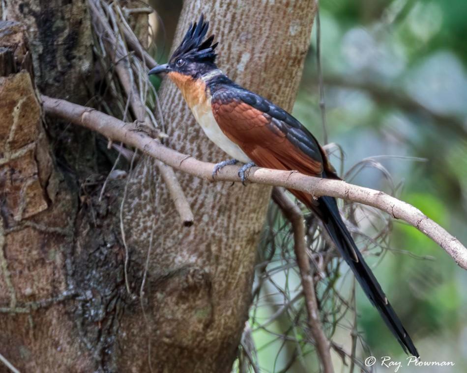 Chestnut-winged Cuckoo (Clamator coromandus) perched near Lorong Halus Wetlands in Singapore