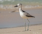 Crab Plover (Dromas ardeola) on Anse Bazarca beach at Mahe Island in Seychelles