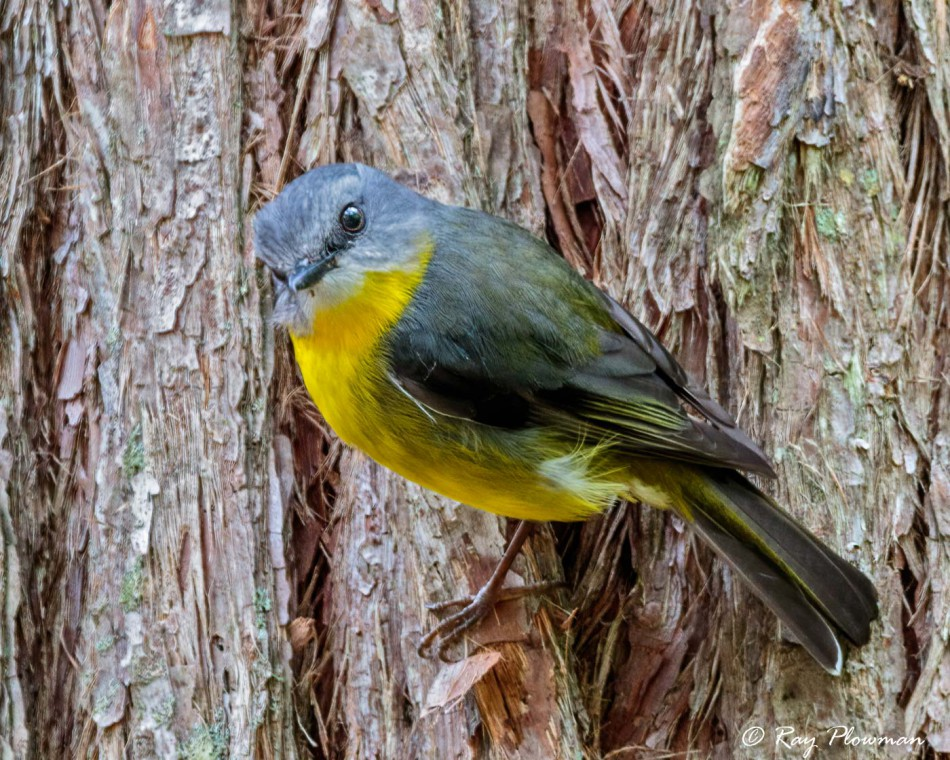 Eastern Yellow Robin (Eopsaltria australis) perched at Booderee National Park in Jervis Bay Territory