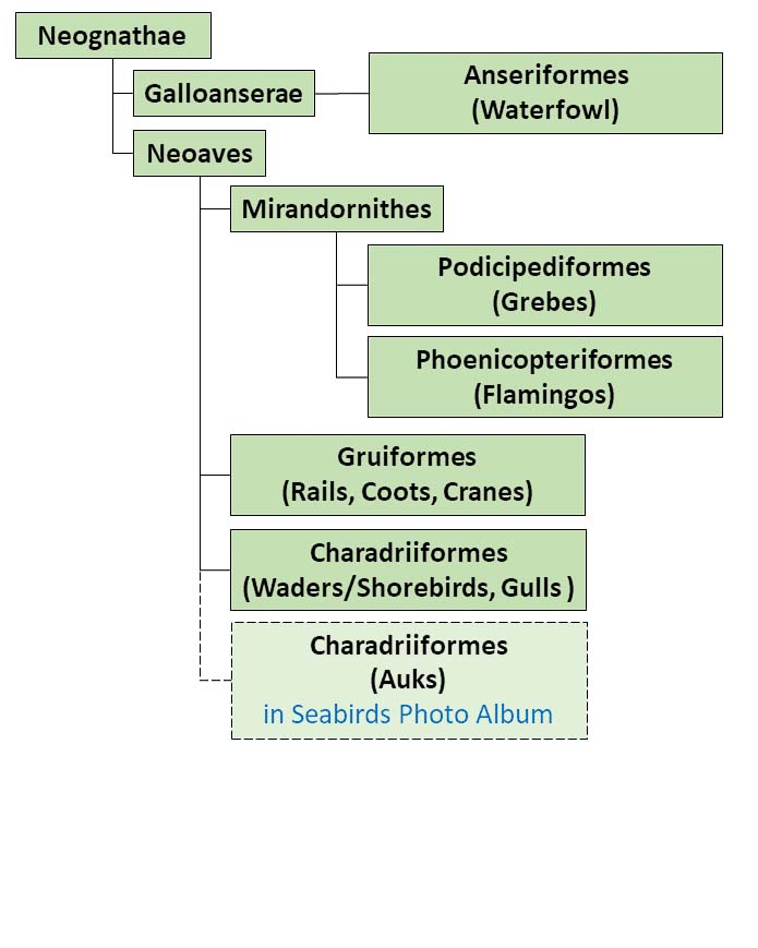 Figure showing a simplified taxonomy family tree applicable to Waterbirds Photo Albums