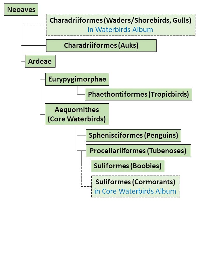 Figure showing a simplified taxonomy family tree applicable to Seabirds Photo Albums