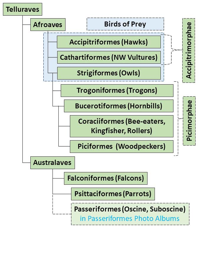 Figure showing a simplified taxonomy family tree applicable to Core Landbirds Photo Albums