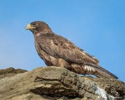 Galapagos Hawk (Buteo galapagoensis) looking for prey on Santiago Island