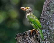 Lineated Barbet (Psilopogon lineatus hodgsoni) perched in a tree at Toh Yi Dr in Singapore