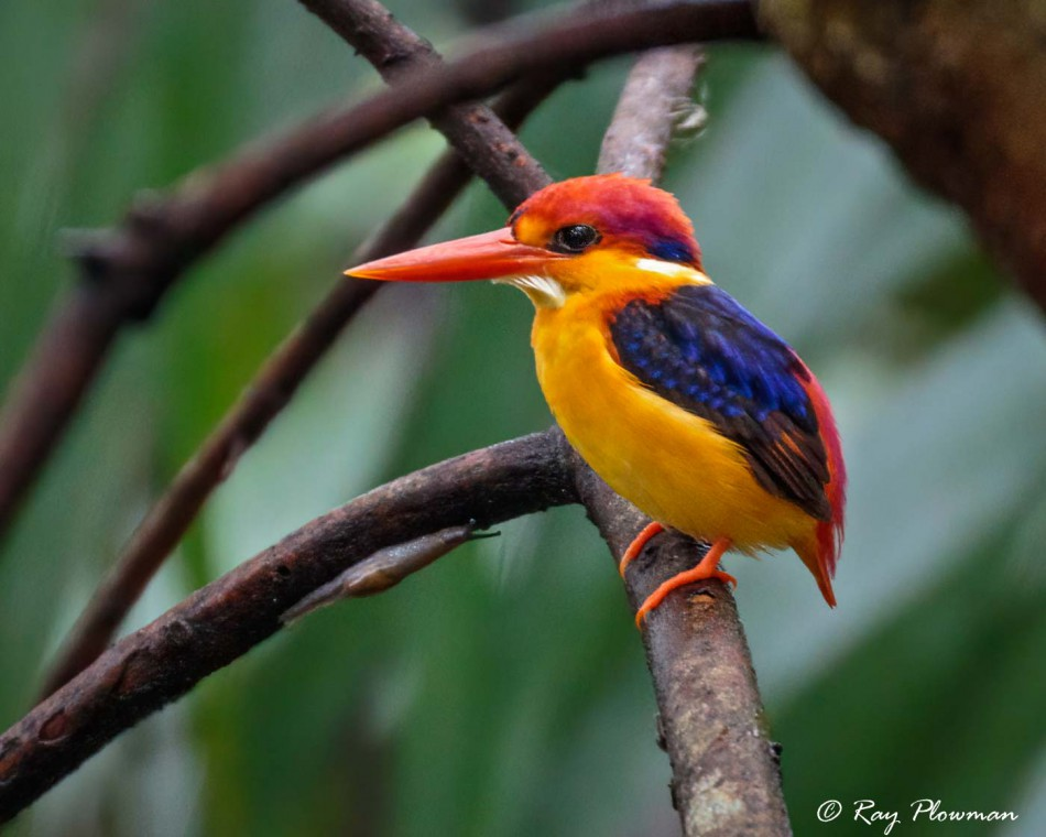 Oriental Dwarf Kingfisher (Ceyx erithacus) hunting for Insects at Bukit Timah Nature Reserve in Singapore