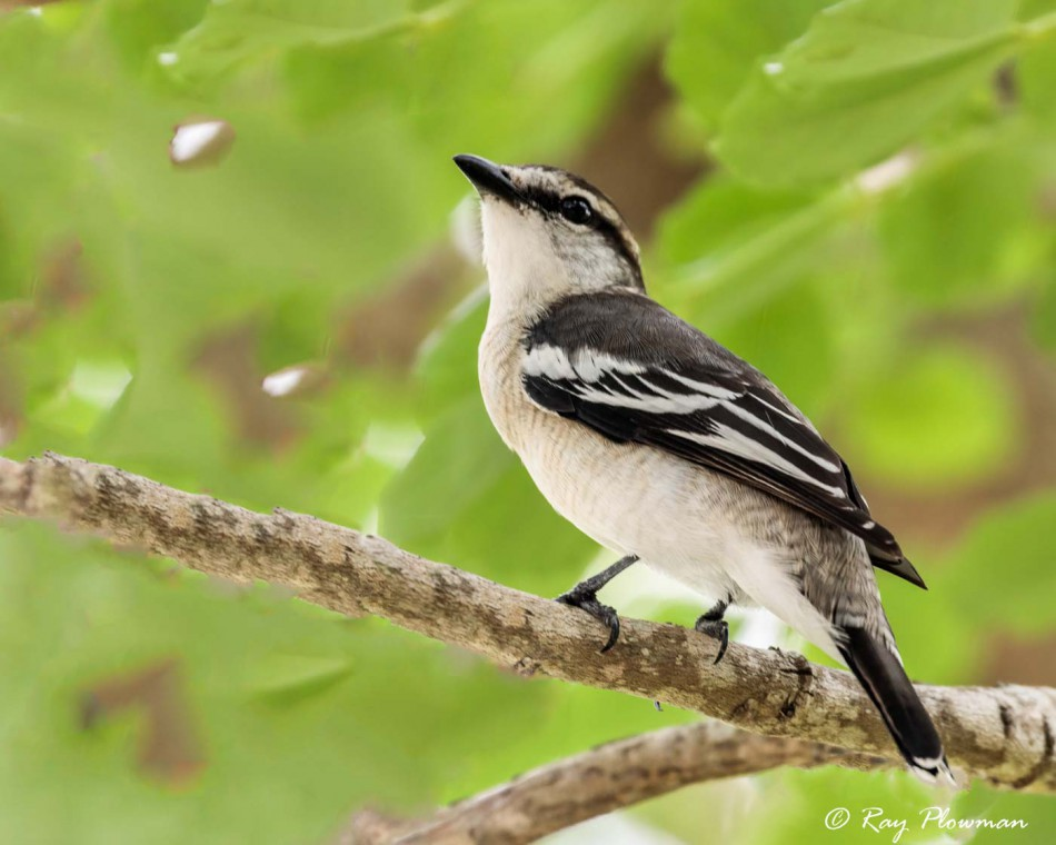 Pied Triller (Lalage nigra striga) perched in Nishan Ang Mo Kio Park in Singapore