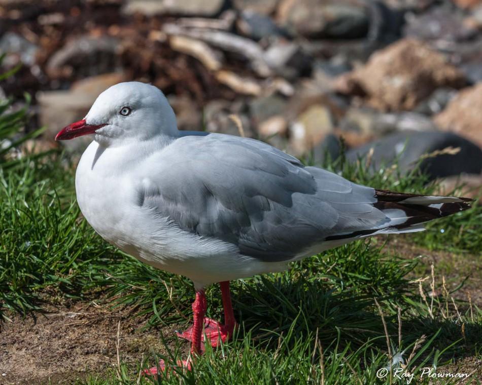 Silver Gull [Red-billed] (Chroicocephalus hartlaubii scopulinus) at Pilots Beach on the Otago Peninsula