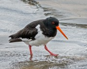 South Island Oystercatcher (Haematopus finschi) at New Zealand 's Stewart Island