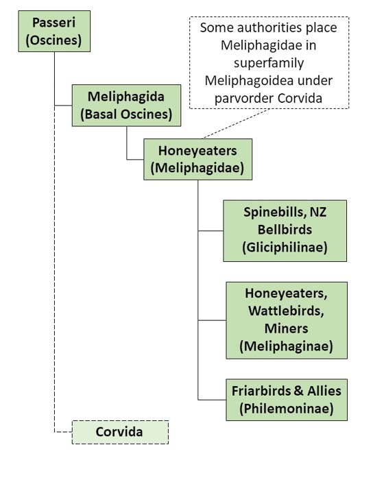 The figure shows a simplified taxonomy family tree relevant to Honeyeaters photo album