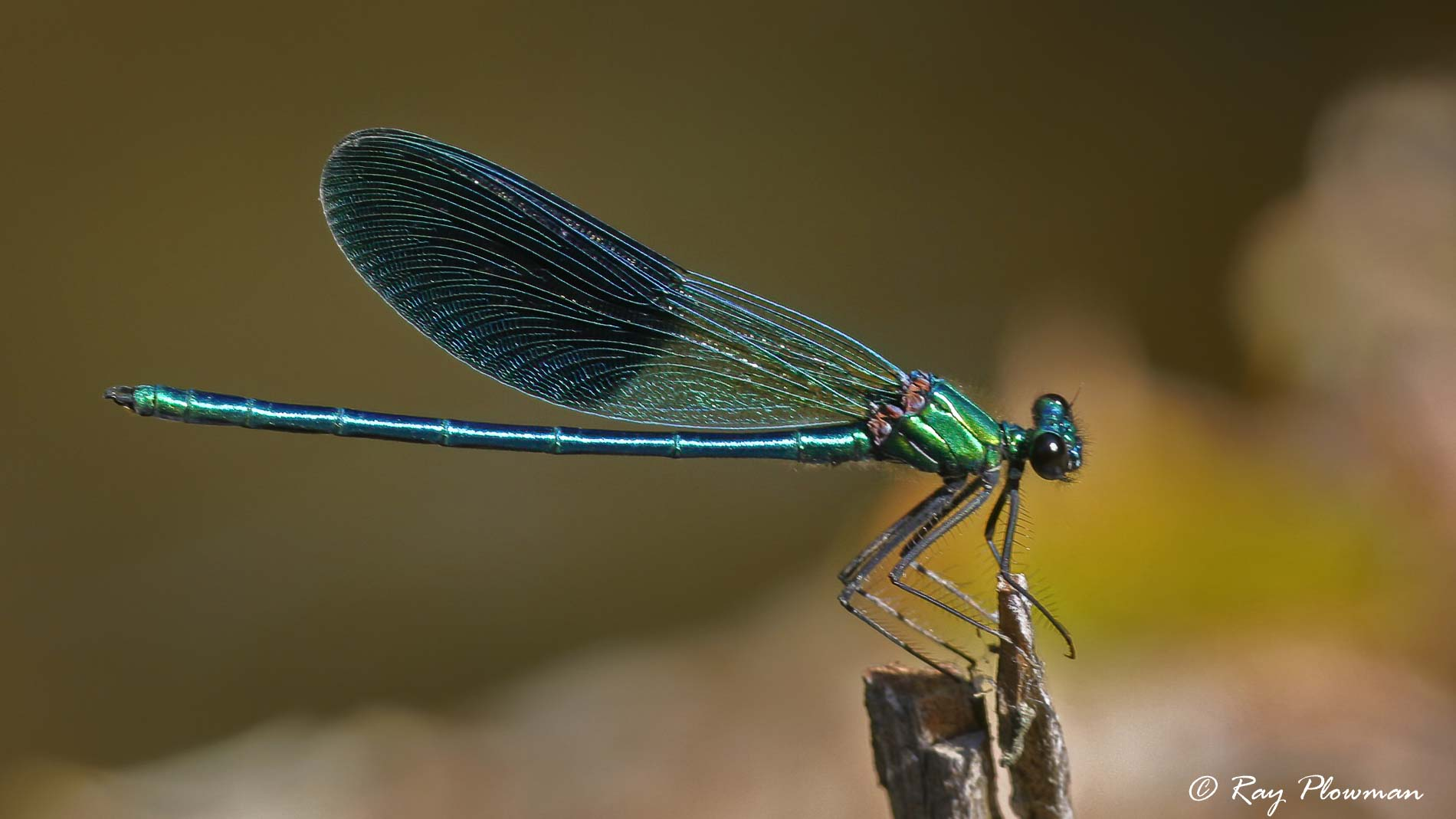 Banded Demoiselle (Calopteryx splendens) male perched on Aveyron riverbank at Le Moulin Du Bousquet in France